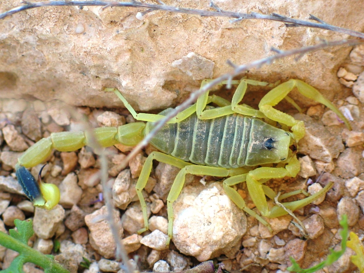 Deathstalker scorpion venom could improve gene therapy for ...